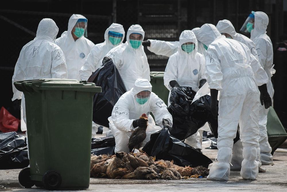 Cənubi Koreyada quş qripinə görə 19 milyona yaxın toyuq məhv edilib