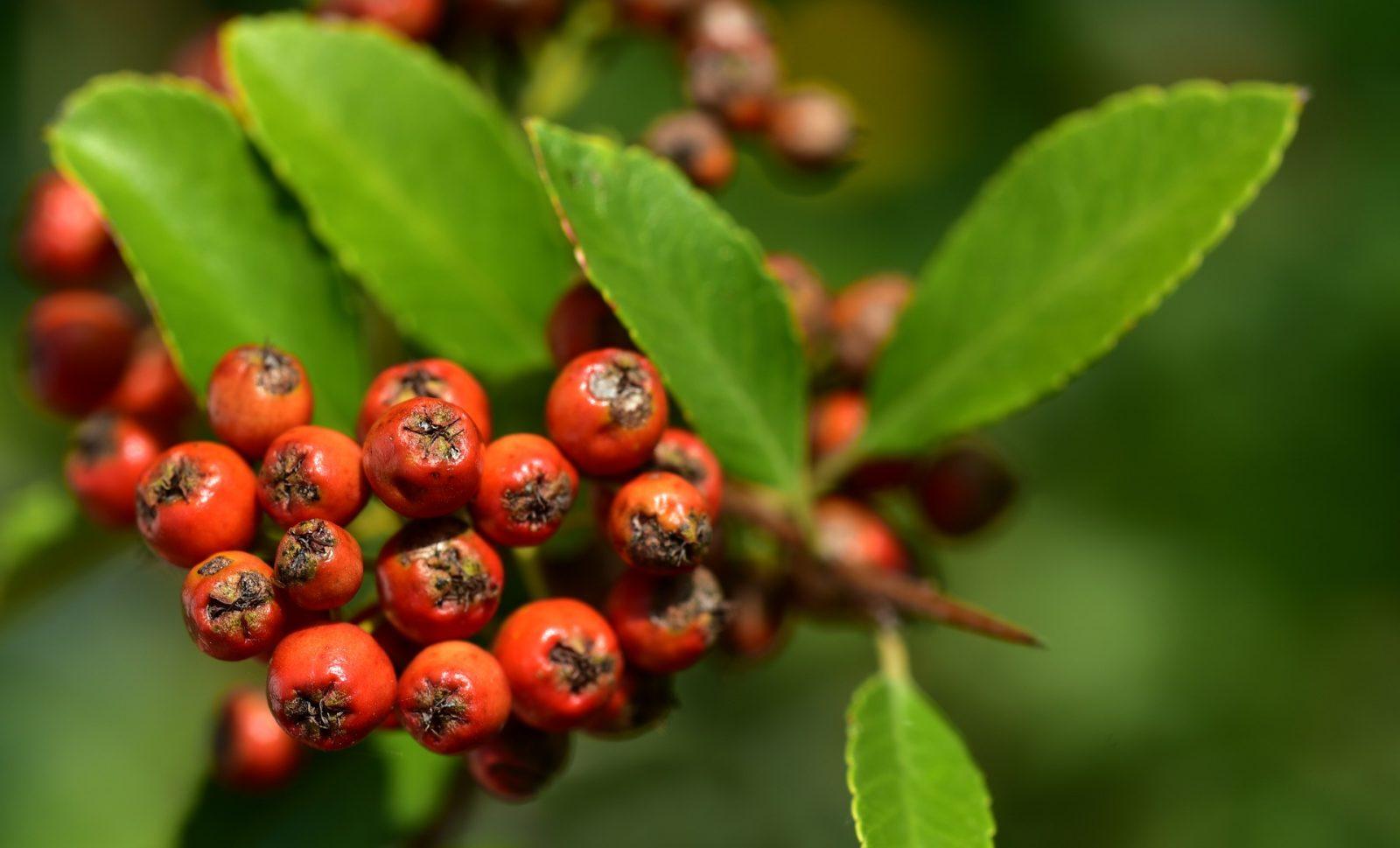 Təbii vitamin mənbəyi – Quşarmudu meyvəsi